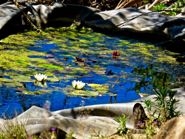 First waterlilies of the year on her pond