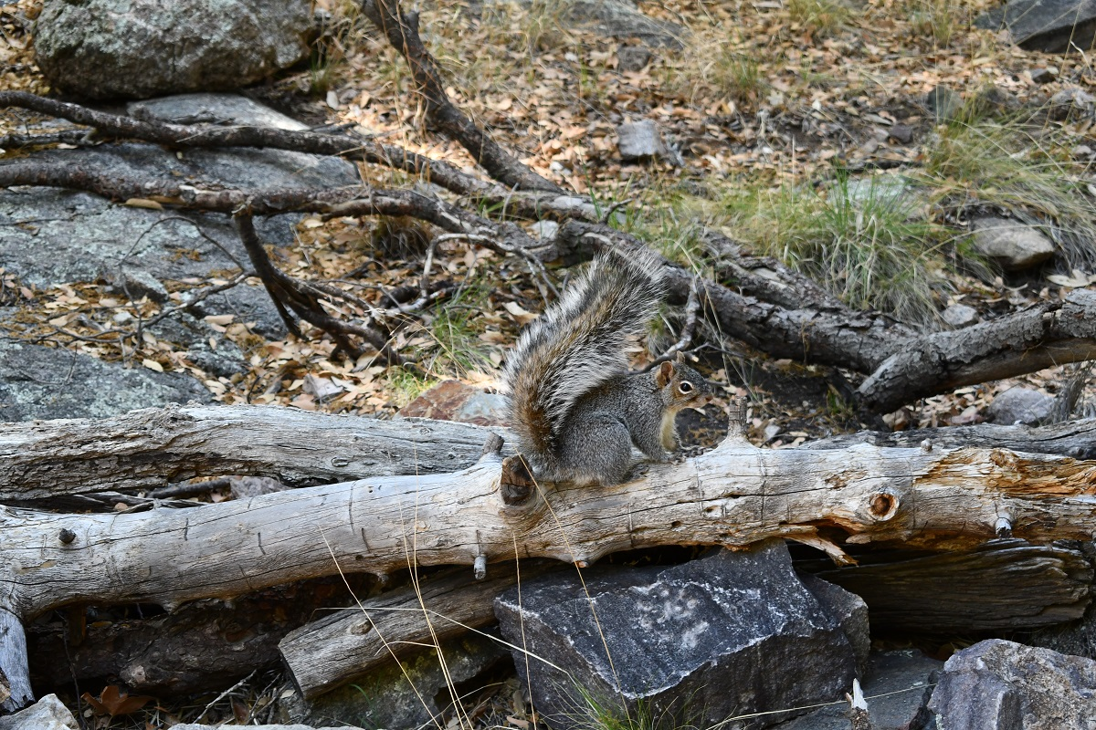 Friendly squirrel, Ramsey Canyon Preserve, Arizona