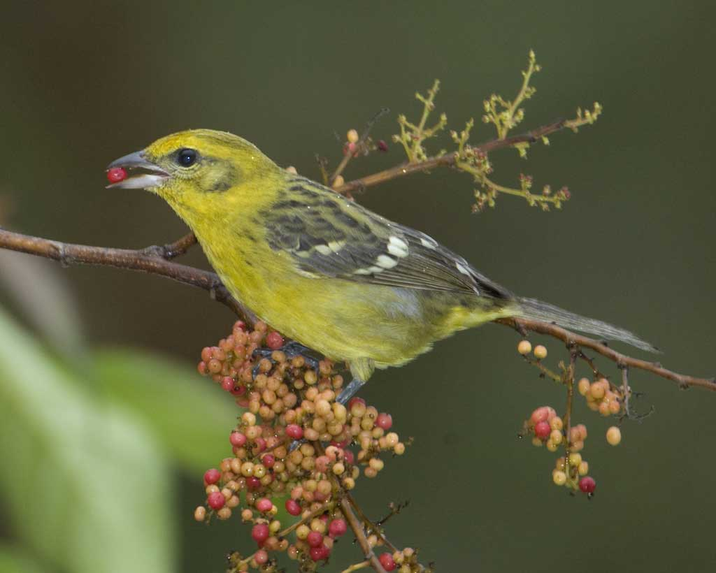 Online photo of female Flame-colored Tanager